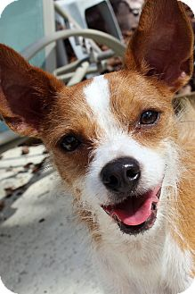 Jack Russell Terrier/Chihuahua Mix Dog for adoption in St Petersburg, Florida - Rico