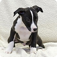 Adopt A Pet :: Lorraine - Ile-Perrot, QC