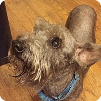 Adopt A Pet :: Barney - Springfield, MO