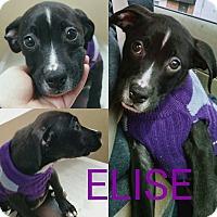 Adopt A Pet :: Elise - Garden City, MI