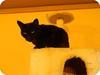 Domestic Shorthair Cat for adoption in Jupiter, Florida - Barney