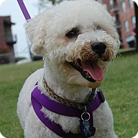 Bichon Frise Mix Dog for adoption in Memphis, Tennessee - Sloan
