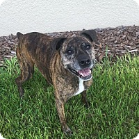 Boxer Mix Dog for adoption in Orlando, Florida - Brandy