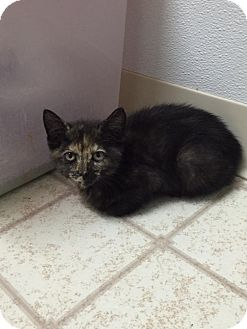 Domestic Shorthair Kitten for adoption in Bryan, Ohio - Ellie