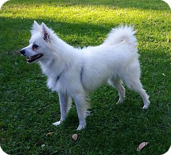 American Eskimo Dog Dog for adoption in Lindsey, Ohio - Sky of  Dayton, OH