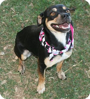Chihuahua Mix Dog for adoption in Pilot Point, Texas - Mandy