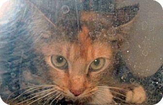 Domestic Shorthair Cat for adoption in Wildomar, California - 318338