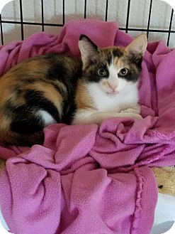 Calico Cat for adoption in Incline Village, Nevada - Lucy