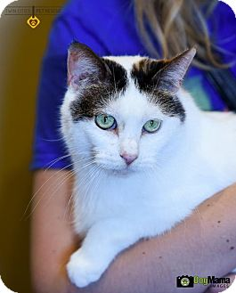 Domestic Shorthair Cat for adoption in St Paul, Minnesota - Harmony