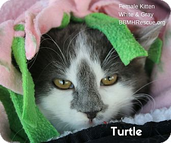 Domestic Longhair Kitten for adoption in Temecula, California - Turtle