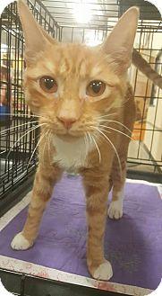 Domestic Shorthair Kitten for adoption in Griffin, Georgia - Garfield