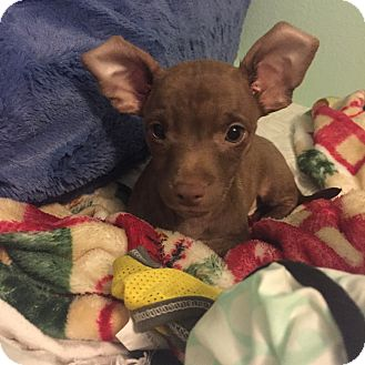 Chihuahua Mix Puppy for adoption in San Diego, California - Timmy