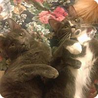 Adopt A Pet :: Brothers - Whitestone, NY
