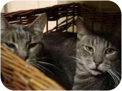 Domestic Shorthair Cat for adoption in Pasadena, California - Arnold & Brad