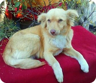 Sheltie, Shetland Sheepdog Mix Dog for adoption in Irvine, California - GOLDIE