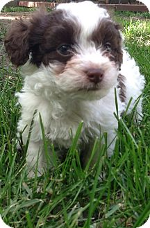 rat terrier poodle mix dewey adopted puppy madison heights mi poodle 4959