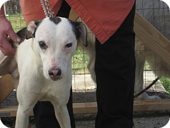 Pointer/Husky Mix Dog for adoption in Sparta, New Jersey - Sweet Pea