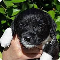 Adopt A Pet :: SOCKS - Torrance, CA