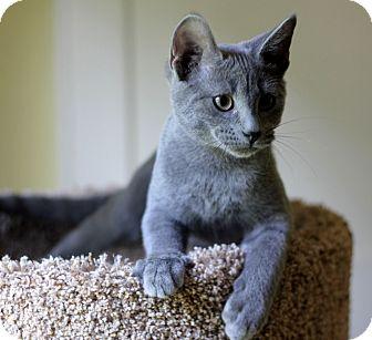 Dalton, GA - Russian Blue. Meet Simon a Cat for Adoption.
