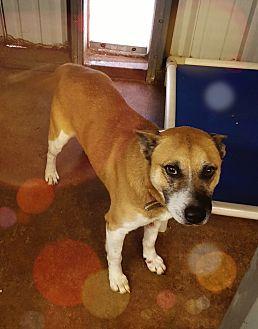 Shepherd (Unknown Type)/Akita Mix Dog for adoption in San antonio, Texas - Happy