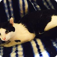 Adopt A Pet :: Cottonelle - Addison, IL