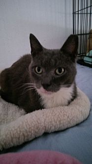 Domestic Shorthair Cat for adoption in Bonita Springs, Florida - Blue