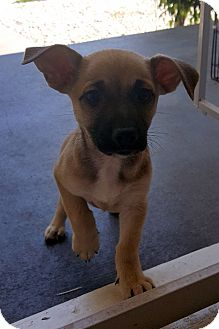 Australian Cattle Dog/German Shepherd Dog Mix Puppy for adoption in Winnetka, California - DOBBY