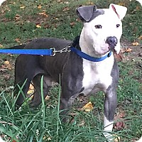 Pit Bull Terrier/American Staffordshire Terrier Mix Dog for adoption in Staunton, Virginia - Grant