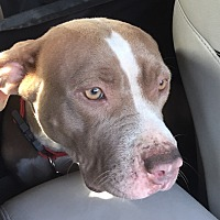 American Staffordshire Terrier Mix Dog for adoption in Temecula, California - Rockie