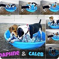 Adopt A Pet :: Daphne - Casa Grande, AZ