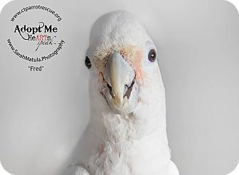 Cockatoo for adoption in Stratford, Connecticut - Fred