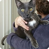 Domestic Shorthair Cat for adoption in Baudette, Minnesota - SMOKEY