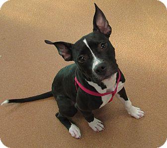 Pit Bull Terrier Mix Puppy for adoption in Norwalk, Connecticut - Aurora