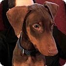 Adopt A Pet :: Adopted! Joey