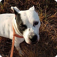 American Staffordshire Terrier Mix Dog for adoption in Arlington, Massachusetts - Lilly