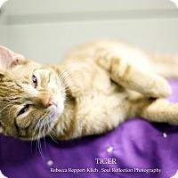Adopt A Pet :: Tiger *Petsmart* - Appleton, WI