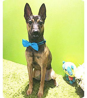 Labrador Retriever/Shepherd (Unknown Type) Mix Dog for adoption in Castro Valley, California - Johnny