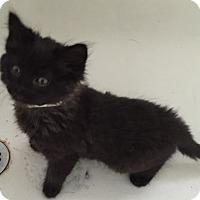 Adopt A Pet :: Presley - Staten Island, NY