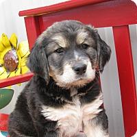 Adopt A Pet :: Curly - Groton, MA