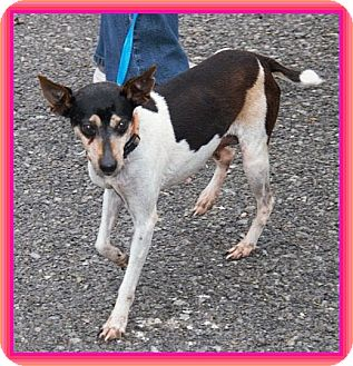 Rat Terrier Mix Dog for adoption in Plainfield, Connecticut - Mary Kay IN New ENG. $150 off