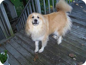 Great Pyrenees/Collie Mix Dog for adoption in Wayne, New Jersey - Harley