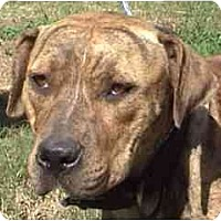 Catahoula Leopard Dog/Pit Bull Terrier Mix Dog for adoption in Tyler, Texas - TG-Precious