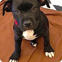 Adopt A Pet :: Celine - Phoenix, AZ