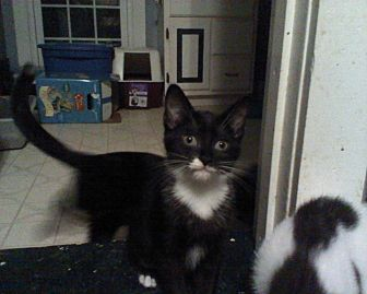 Domestic Shorthair Cat for adoption in Clarkson, Kentucky - Diamond