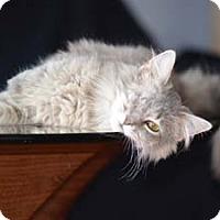 Adopt A Pet :: Fluffy - Merrifield, VA