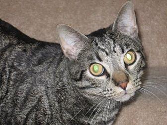 Domestic Shorthair Cat for adoption in Cincinnati, Ohio - Patrick