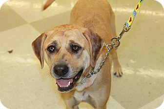 Catahoula Leopard Dog/Labrador Retriever Mix Dog for adoption in