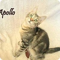 Adopt A Pet :: Apollo (Mallett Foster) - Olive Branch, MS