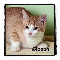 Adopt A Pet :: Gideon - Warren, PA