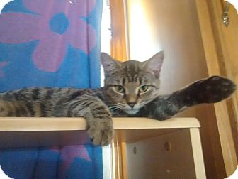 Domestic Shorthair Kitten for adoption in Saint Albans, West Virginia - Jewels
